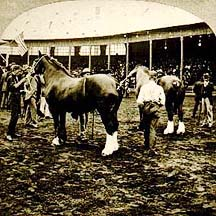Percheron at the World's Fair Columbian Exposition