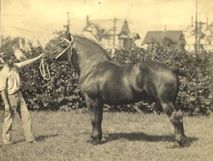 Black Percheron at Penn State